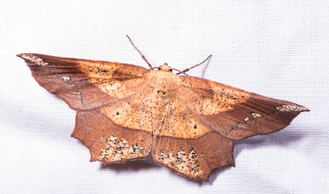 Deep Yellow Euchlaena - Euchlaena amoenaria