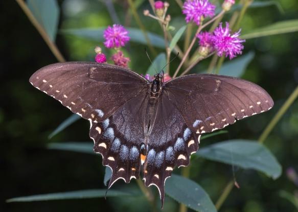 Eastern Tiger Swallowtail black phase female