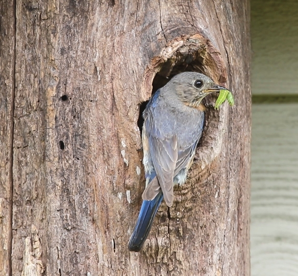 Female Eastern Bluebird with caterpillar