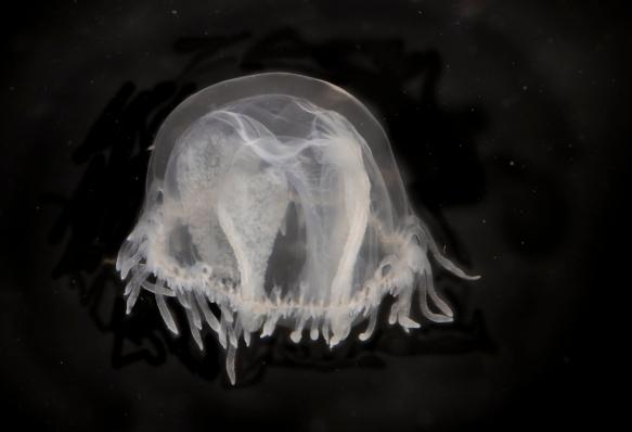 FW Jellyfish