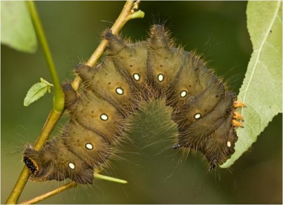 Imperial moth larva