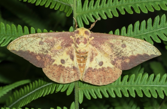 Imperial Moth, male