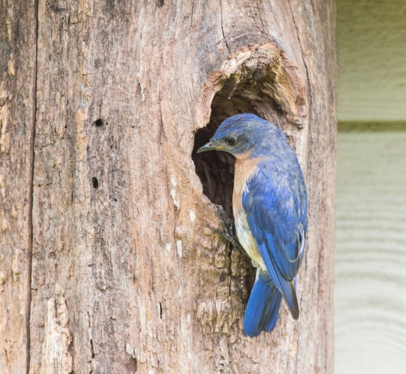 Male Bluebird at nest opening