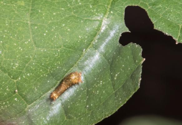 Spicebush Swallowtail larva first instar