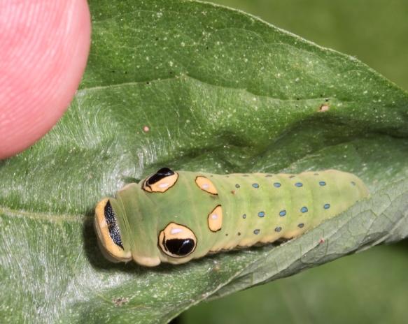 Spicebush Swallowtail larva late instar