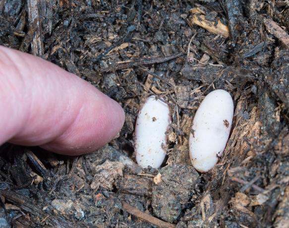 worm snake eggs