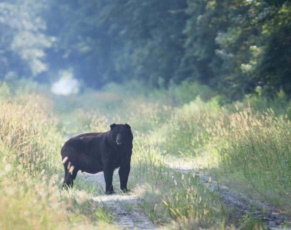 Big Boy Bear 1