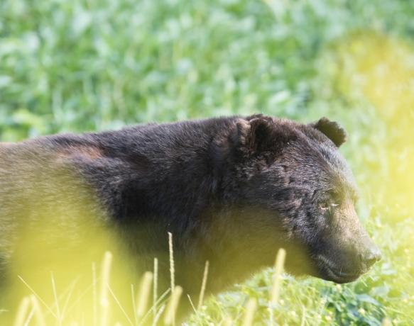 Big Boy Bear