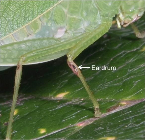 eardrum katydid