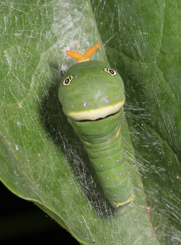 Eastern Tiger Swallowtail larva late instar with osmeterium