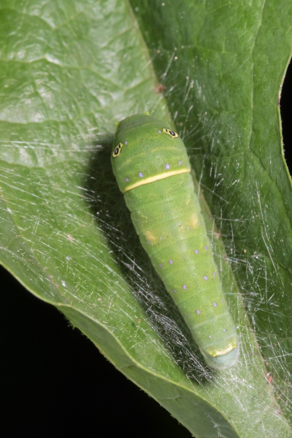 Eastern Tiger Swallowtail larva late instar