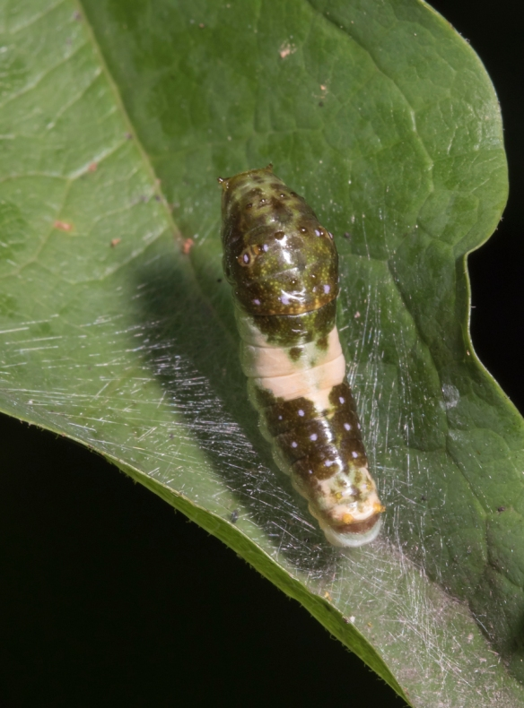 Eastern Tiger Swallowtail larva third instar