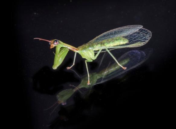 Green Mantisfly, Zeugomantispa minuta 1