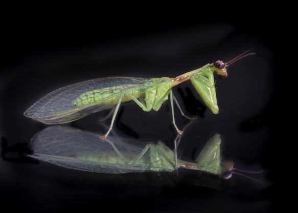 Green Mantisfly, Zeugomantispa minuta 2