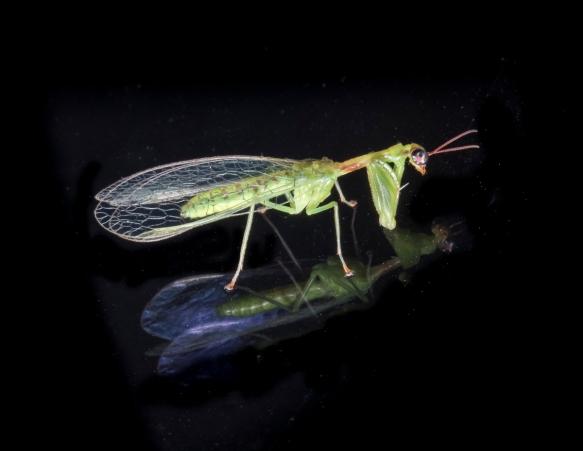 Green Mantisfly, Zeugomantispa minuta
