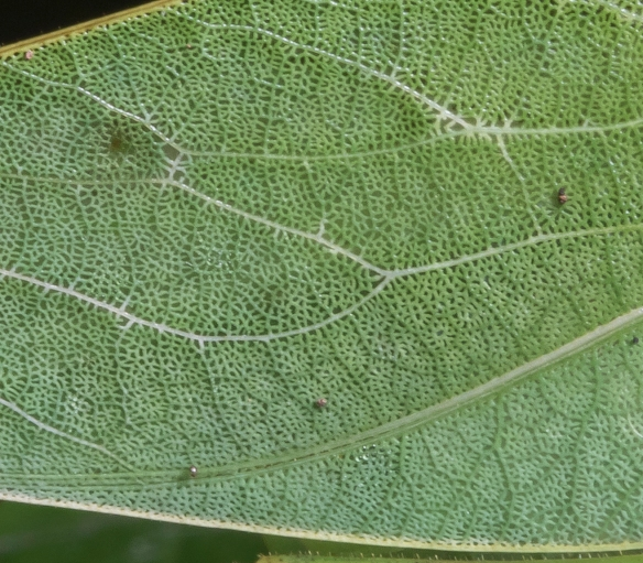 Katydid wing close up