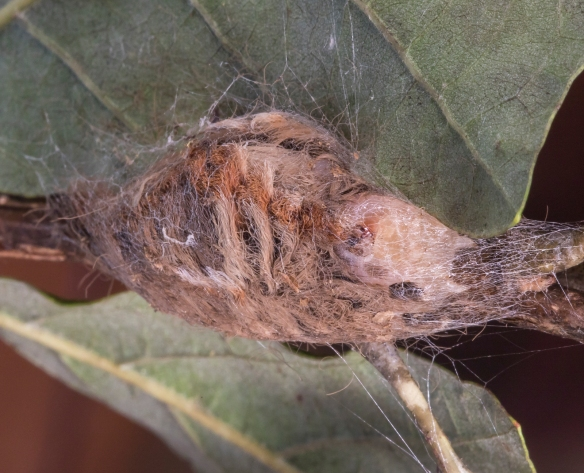 Puss Moth cocoon day 1 with larva visible