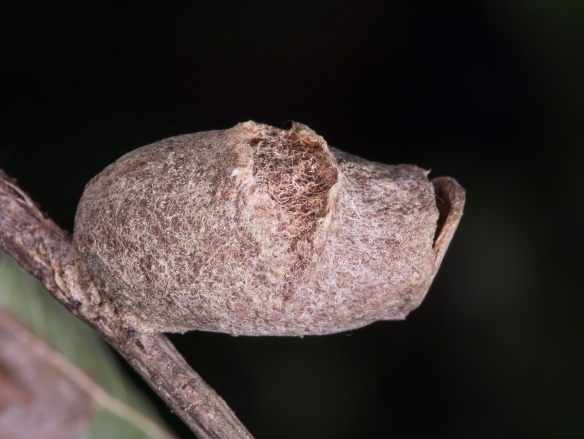 Puss Moth cocoon weathered