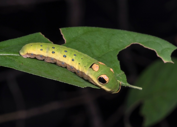 Spicebush Swallowtail larva feeding on Spicebush leaf