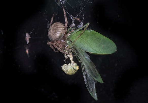 Spider woth katydid 1