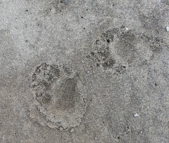 Bear tracks on beach