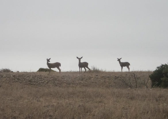 Black-til Deer on Miller Flats