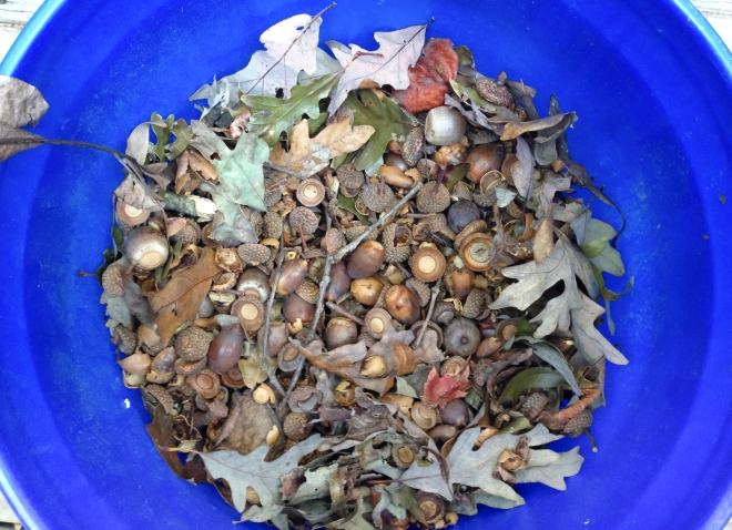 bucket of acorns