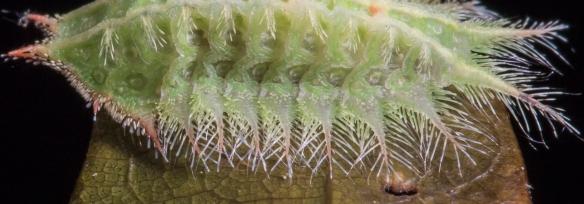 Crowned Slug close up