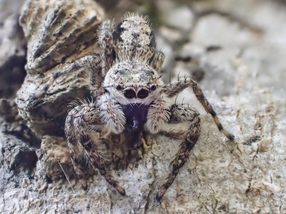 Jumping spider along Haw 3