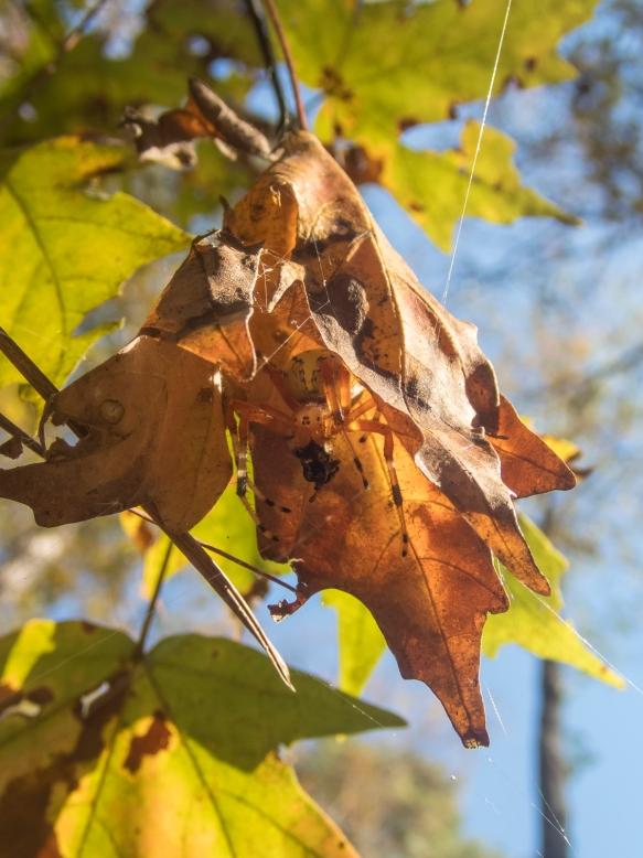 Marbled Orb Weaver leaf retreat