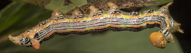 Red-humped Oakworm 2