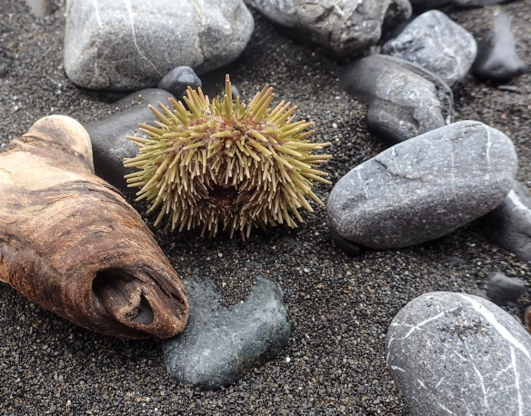 Sea Urchin on the beach