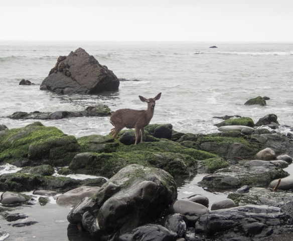 Stranded Blacktail Deer