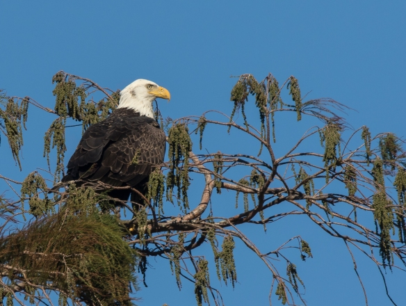 Bald Eagle at Mattamuskeet