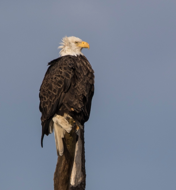 Bald Eagle on snag 1