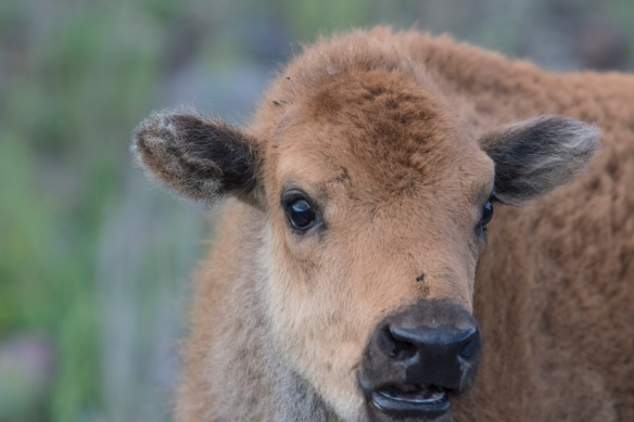 Bison calf out car window