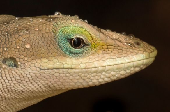 Carolina Anole in rain head shot from side close up