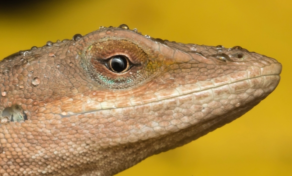 Carolina Anole in rain head shot with yellow leaves close up