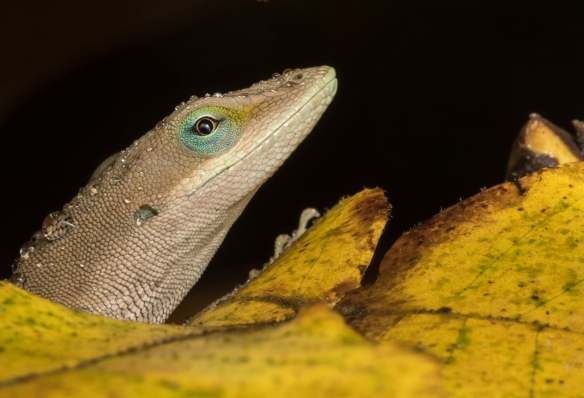 Carolina Anole in rain head shot