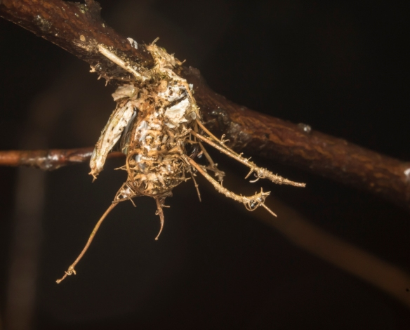 Cordceps fungus on unknown insect