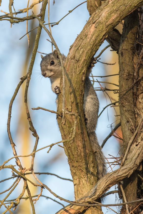 Delmarva Fox Squirrel at Blackwater NWR