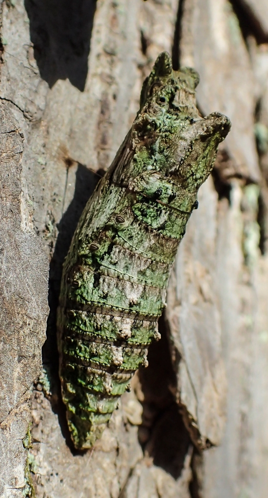 Close up of Eastern Tiger Swallowtail chrysalis