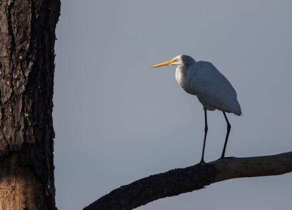 Great egret in shade