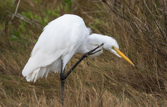 Great egret preening 1