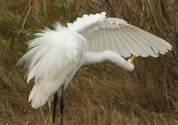Great egret preening 3