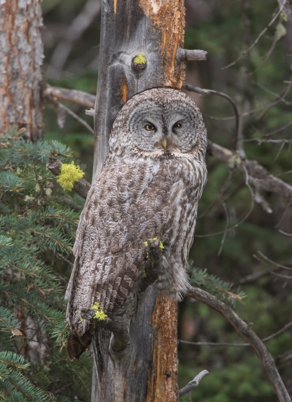 Great Gray Owl female
