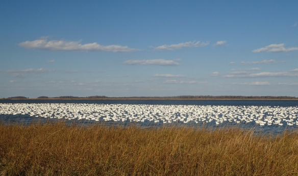Snow Geese at Bombay Hook