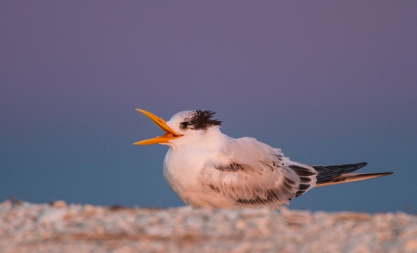 tern with open bill