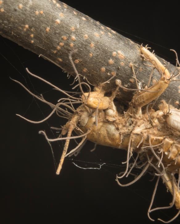 Zombie fungus on cricket 2