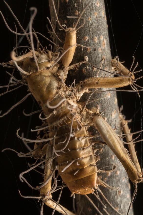 Zombie fungus on cricket 5